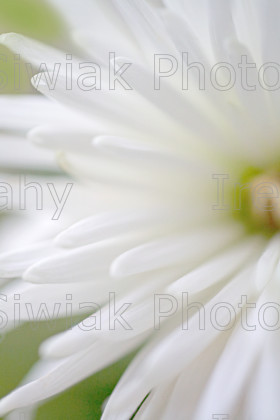 white flower 5 
